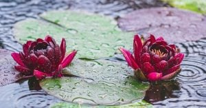 image of flowers on lily pads surprising truth gray hair